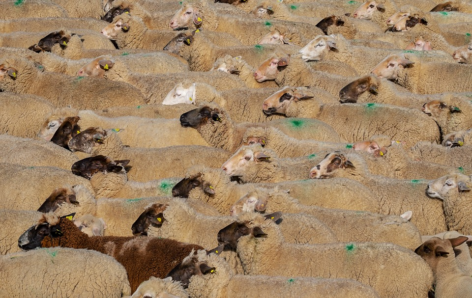 sheep export to Kuwait ECDC